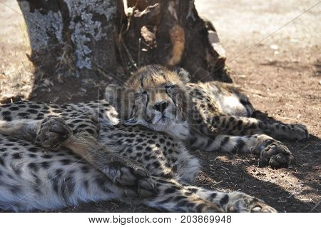 A sleepy young cheetah can't keep its eyes open