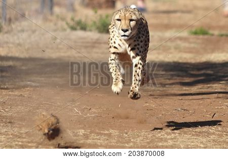 Exercising a cheetah by chasing a lure, completely airborn.