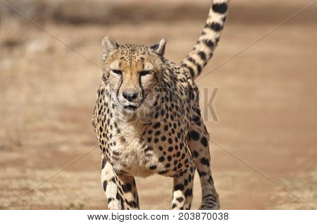 Exercising a cheetah by chasing a lure, close-up.