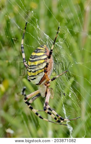 Large wasp spider  in a spider's web between meadows