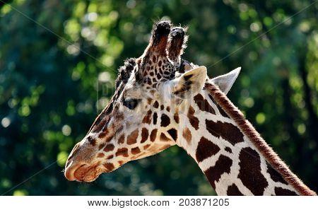 Close up of a Giraffe head in sunlight