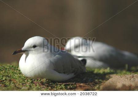 A pair of seagulls appear to be resting on a bed of moss. poster