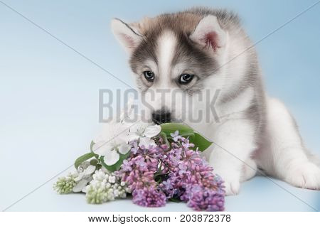 Close up of siberian husky puppy cute face