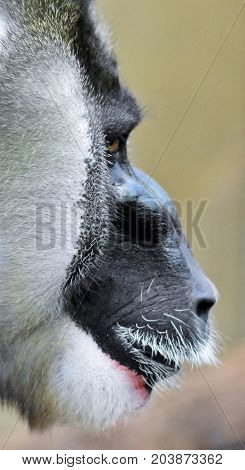 Close up of a Drill monkey face