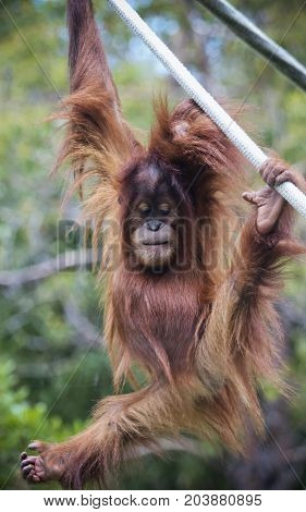 A Young Zoo Orangutan Hangs from a Rope Contemplating His Next Move