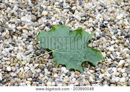 Close-up photo of a green maple leaf with drops of rain lying on stones in an autumnal rainy day