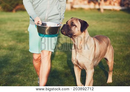 Young man feeding the huge dog (cane corso) in the garden.