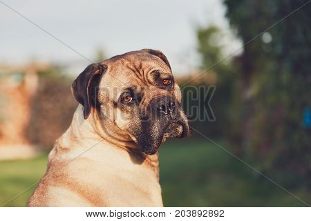 Sad look of the huge dog. Cane corso dog looking at camera. Themes loyalty lost or desire.