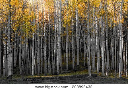 Aspen Forest in Autumn - Colorado Rocky Mountain Scenic Beauty