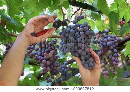 Farmer cut grape from vine in early autumn closeup of hands and tool