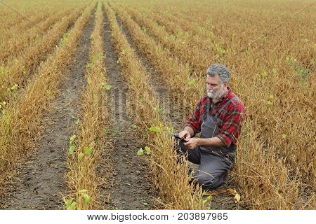Farmer Examining Soy Bean Plants Field