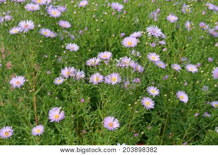 Fleabane or Erigeron with blue flowers on flowerbed