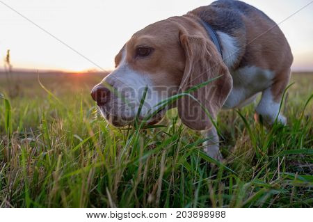 Beagle dog eats green grass during an evening walk at sunset