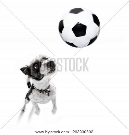 Soccer Poodle Dog