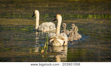 Swans family in a row swimming down a river