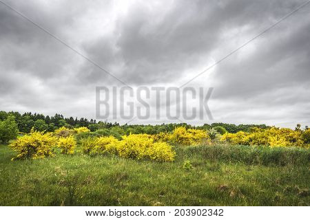 Broom Bushes With Yellow Golden Leaves