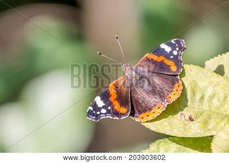 butterfly vanessa atalanta on a green leaf