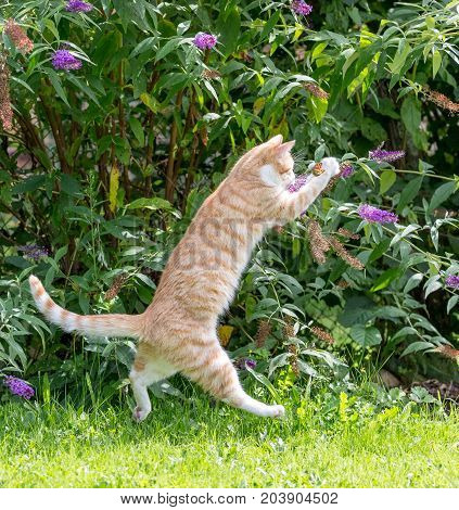 red cat jumping trying to catch a butterfly