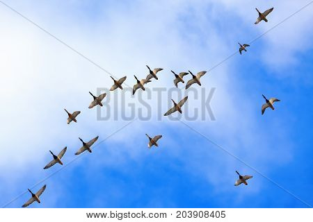 Wld ducks are flying high in the blue sky with white clouds. Big flock make a caravan.