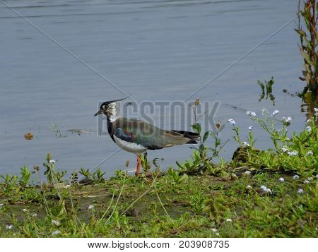 Lapwing standing at the edge of a pond