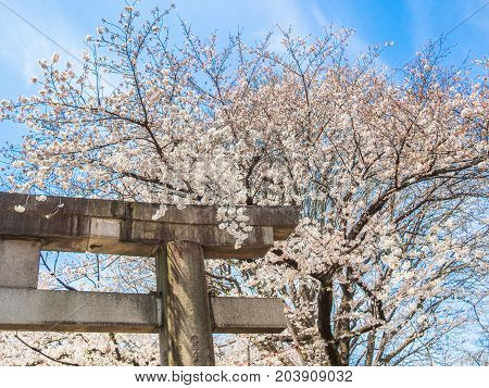 Beautiful view of hanami park during cherry blossom season in Kyoto.