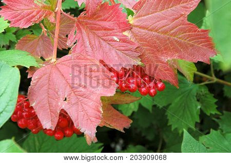 Autumn collection. bunches of viburnum with red leaves