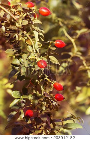 Red berry of dogrose (dog-bramble) in the autumn garden. autumn branches of a bush of a dogrose with red fruits