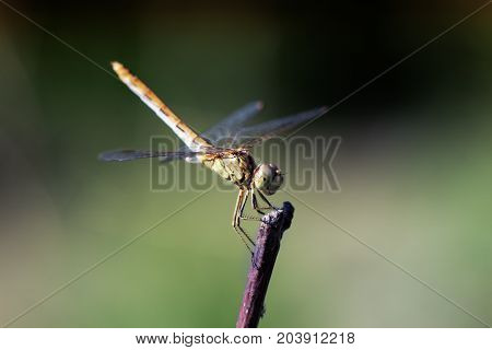 Beautiful dragonfly on plant stem. Close-up photo of a Dragonfly