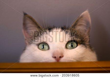 Cat Close Up Portrait On The Cupboard