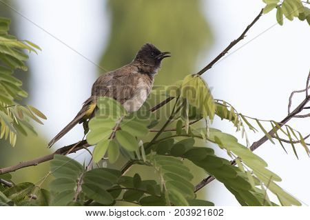 common bulbul that sits on a branch on top of a tree