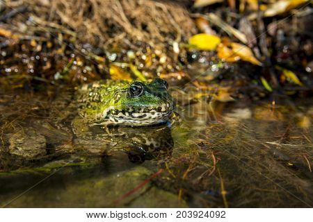 Green Frog Sitting In Water