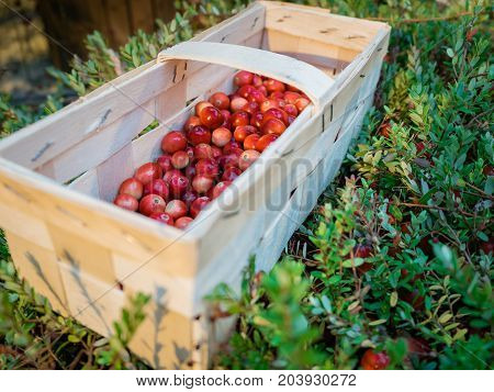 Fresh cornel berries in wooden crate on green floral background. Cranberry in wooden box.