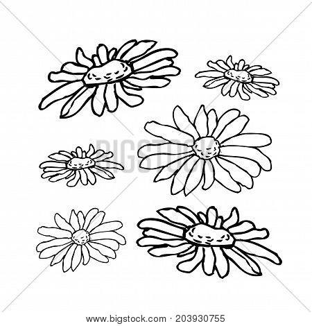 Chamomile, camomile flower floral hand drawn engraving vector illustration. White flower on white background
