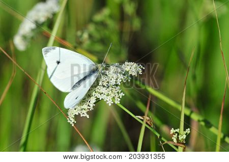 Pieris brassicae, the large white, cabbage butterfly, cabbage white, cabbage moth, large cabbage white, is a butterfly in the family Pieridae.