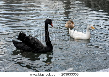 Black and white swans swimming in the lake