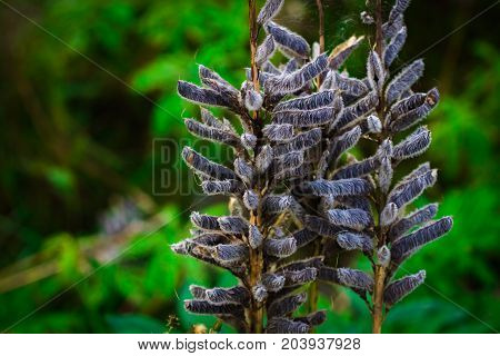 Seeds Of Lupine In The Pods In The Field