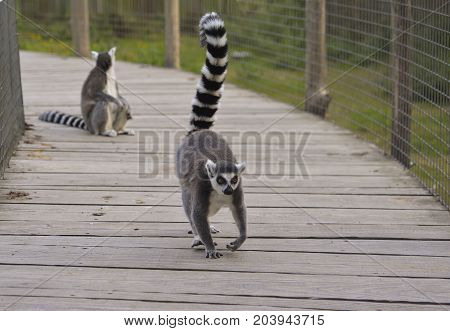 Ring-tailed lemur in a zoo Lemur catta