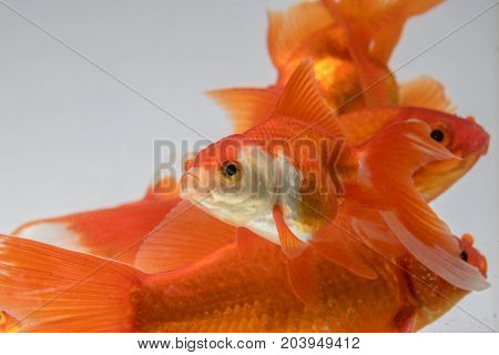 Group Goldfish isolate on a gray background
