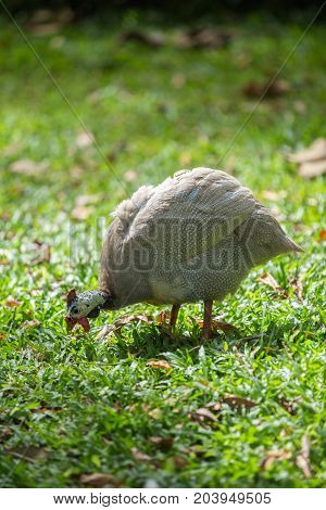 Guineafowl walking in the bush,in the garden