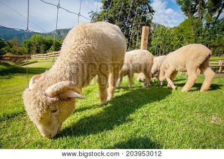flock of merino sheep in rural ranch farm