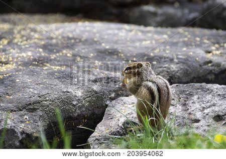 chipmunk sitting on a rock eating a peanut