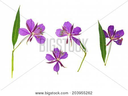 Pressed and dried delicate purple flowers willow-herb (epilobium) isolated on white background. For use in scrapbooking floristry or herbarium.
