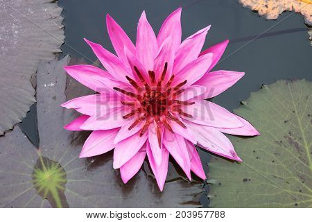 Pink lotus flower in the pond with lilly pads