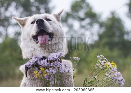 A kind happy smiling dog of Japanese akita inu breed with sticking out tongue in the forest in summer among purple and yellow wildflowers on a natural green background.
