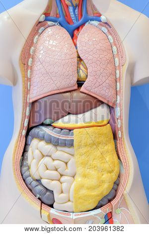 Anatomy model of the internal organs of the human body for use in medical education.