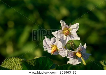 Blossom of potato flowers in the field