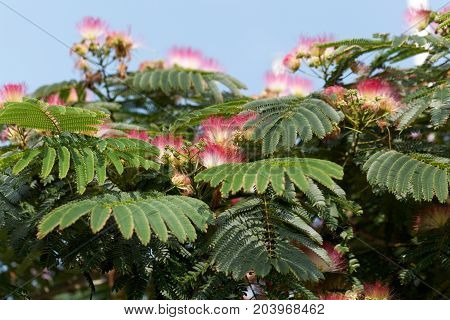 Flowers Of A Persian Silk Tree