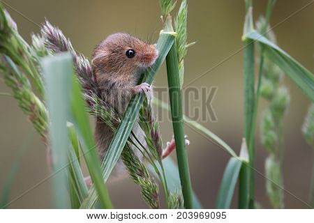 A close up of a harvest mouse climbing up blades of grass and looking inquisitively