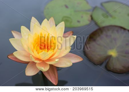 Yellow lotus flower floating on water. Soft focus