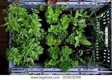 Looking down into a plastic crate of living growing herbs ready for transporting to farmers market - basil parsley chives sage